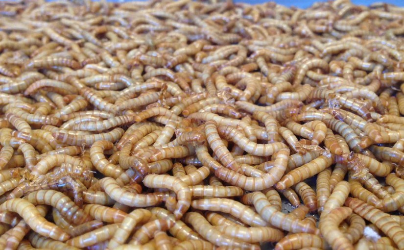 Mealworms Could End Our Plastic Waste Problem!