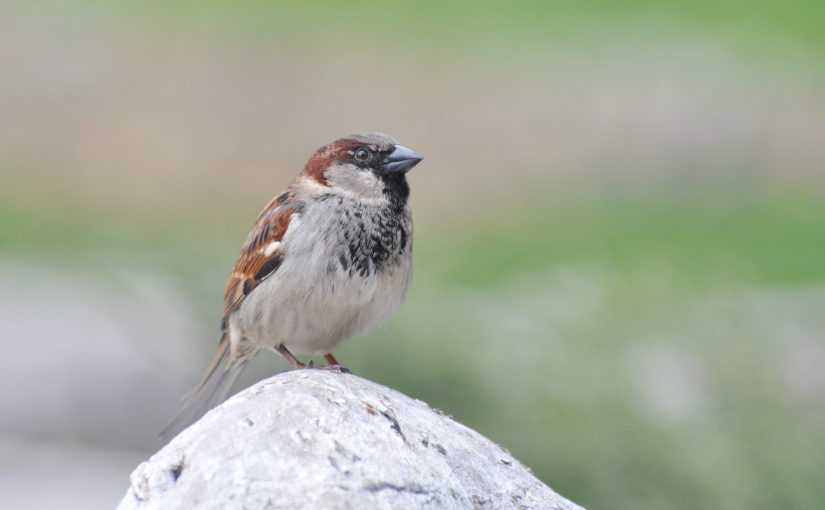 Air pollution linked to decline of city sparrows