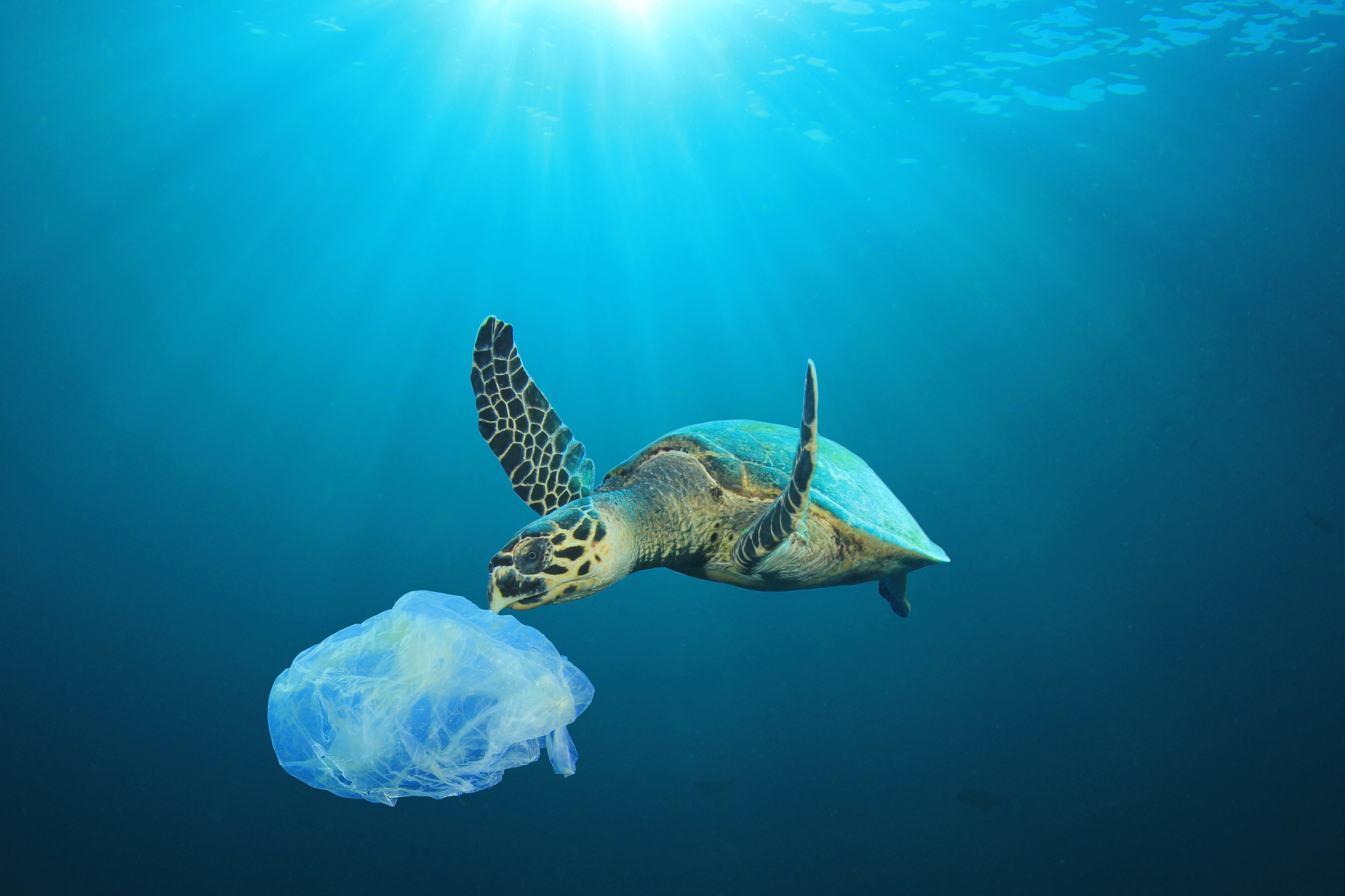 Sea turtle trying to eat a plastic bag