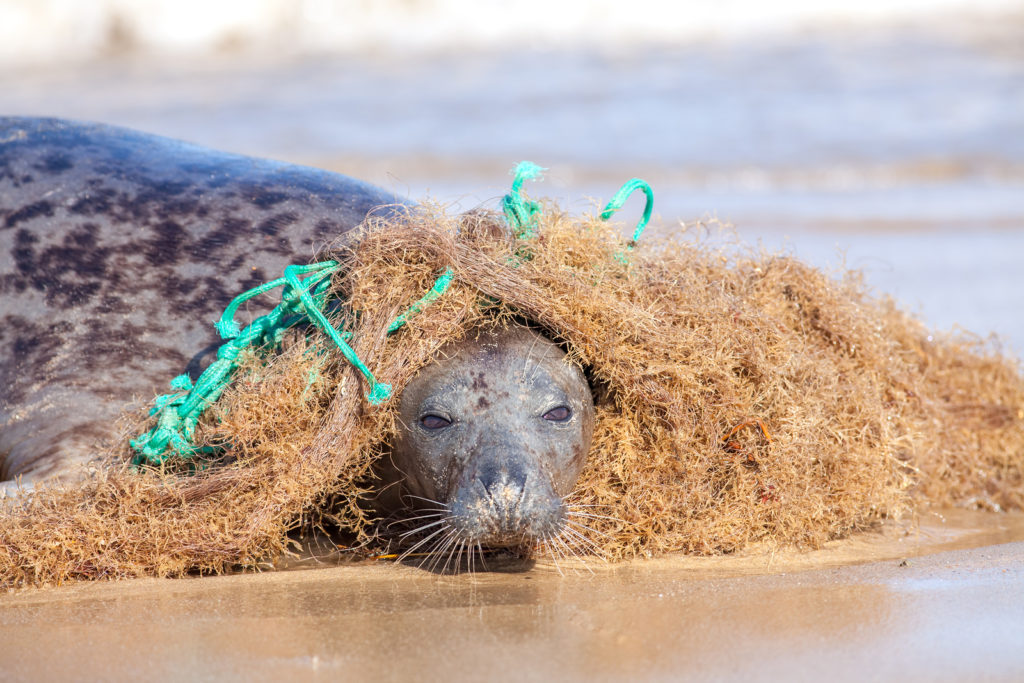 Seal tangled in a plastic fishing net