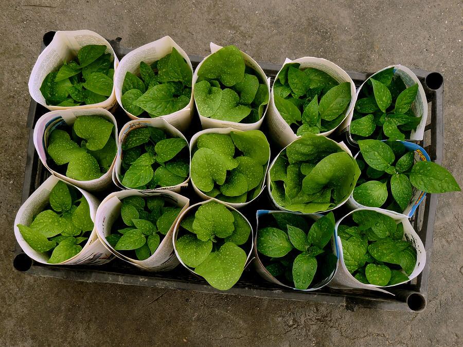 small plants inside newspaper pots
