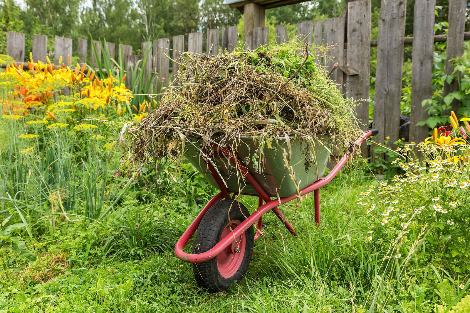 Garden waste in a red wheelbarrow, located in a garden